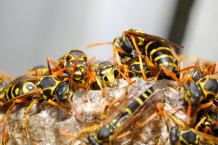 picture of some wasps
