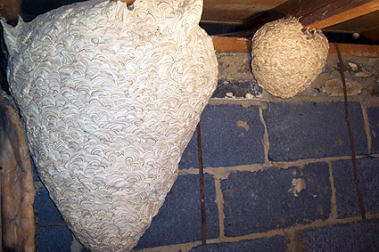 picture of wasps nest